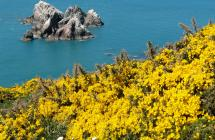 Yellow flowers on the cliff paths, coast of Alderney
